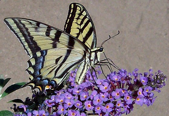 Attracting butterflies to your yard with butterfly bushes