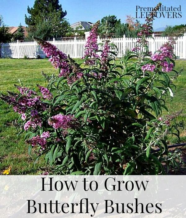 tips for growing butterfly bushes