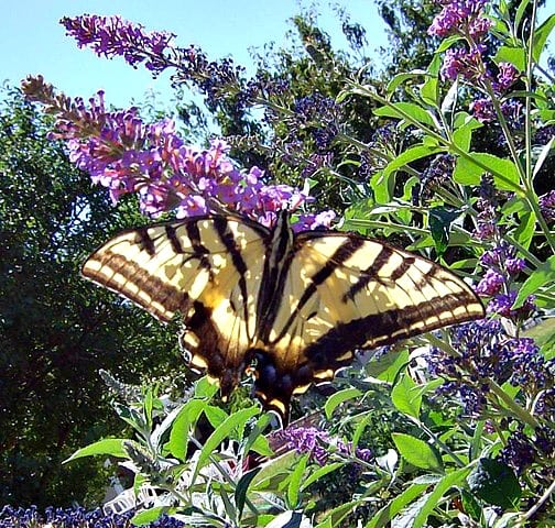 how to grow butterfly bushes