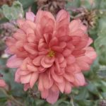 How to Grow Chrysanthemums