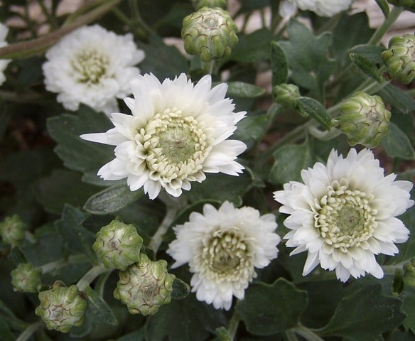 How to Grow Chrysanthemums as perennials