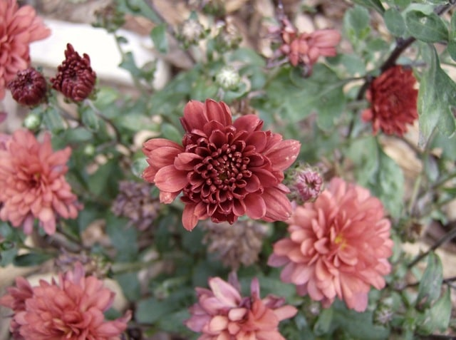 Growing Chrysanthemums as perennials