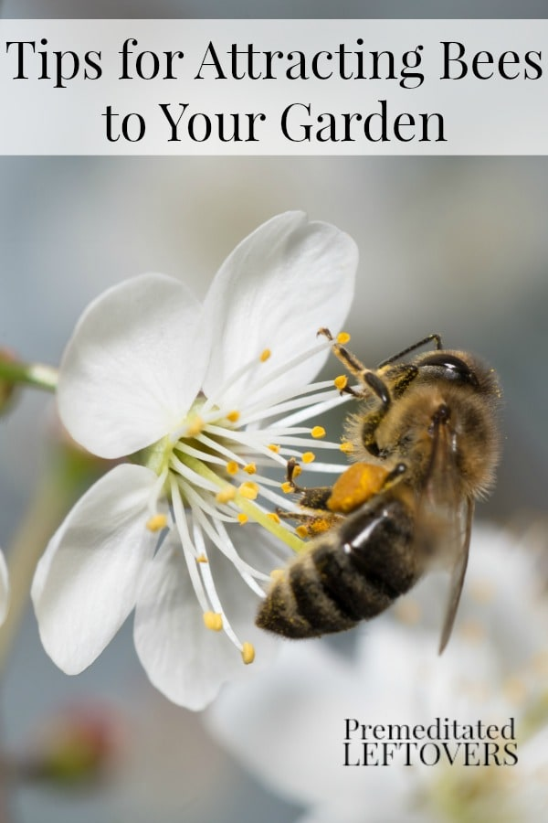 Want more bees in your garden? Here are Tips for Attracting Bees to Your Garden including planting early blooming plants,  attract mason bees,  grow bee-friendly plants near your garden and more!
