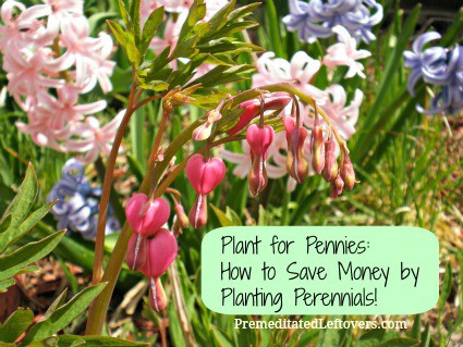 How to Save Money by Planting Perennials including tips on growing perennials, how to choose perennials and how to make perennials grow thick.