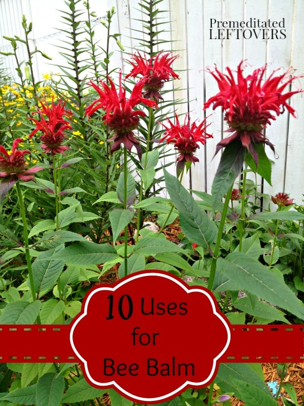 Check out these 10 ways to use Bee Balm in recipes and for medicinal purposes. Includes a Bee Balm Bread recipe and more bee balm uses and bee balm recipes.