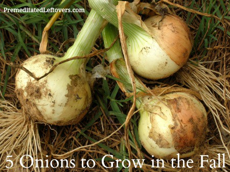 5 Onions Varieties to Grow in the Fall - It is easy to grow onions in the fall. Here are 5 varieties of onions to add to your fall garden.