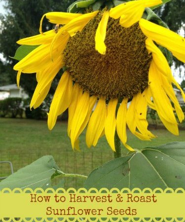 How to Harvest and Roast Sunflower Seeds - Instructions for how to harvest sunflower seeds and directions for roasting sunflower seeds.
