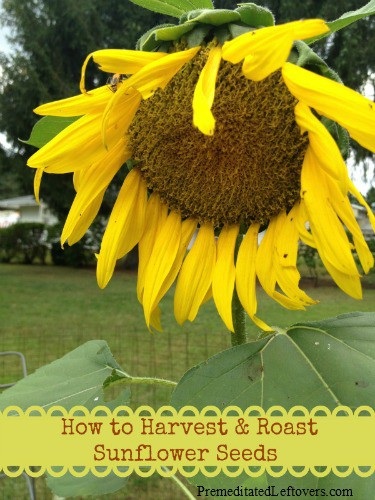 How to Harvest and Roast Sunflower Seeds - Enjoy DIY sunflower seeds! Instructions for harvesting sunflower seeds & directions for roasting sunflower seeds.
