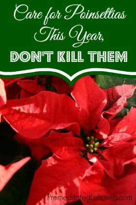 Care for Poinsettias This Year, Don't Kill Them - 8 tips for Keeping Your Poinsettias Alive