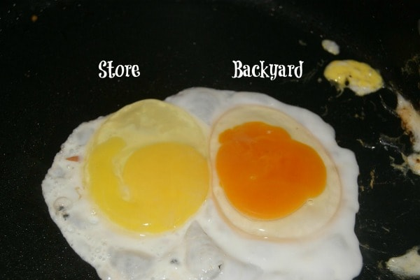 Visual difference between store bought eggs and eggs raised by backyard chickens