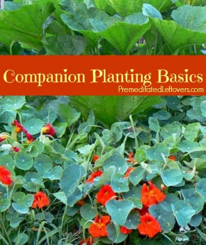 Companion Planting Basics - how to use companion plants in the garden