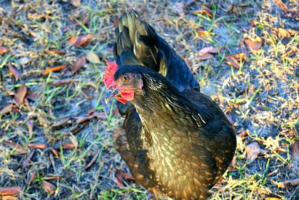 Tips for raising backyard chickens