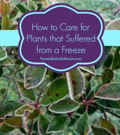 How to Care for Plants That Were Damaged in a Freeze- These useful tips will help you salvage plants that have suffered damage during freezing temperatures.