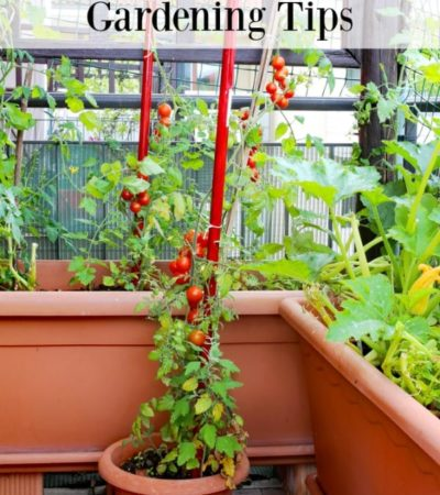tomatoes growing in containers