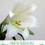 How to Transplant Easter Lillies