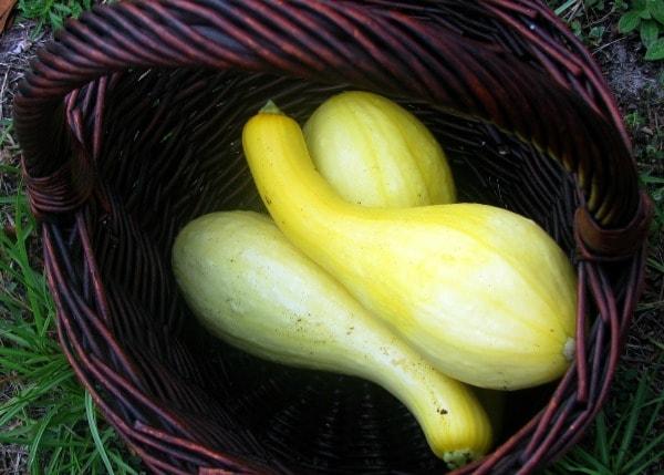 when to harvest summer squash