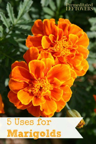 5 Ways to Use Marigolds in Your Home and Garden