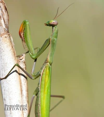 how to attract praying mantis to your yard