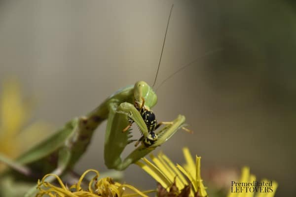 The praying mantis eating a wasp.