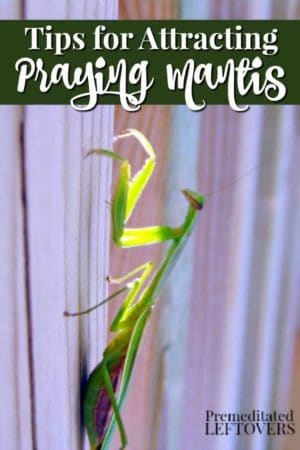 praying mantis on a fence in the backyard