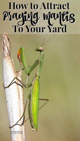 praying mantis on a stick