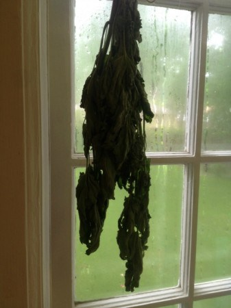 drying catnip