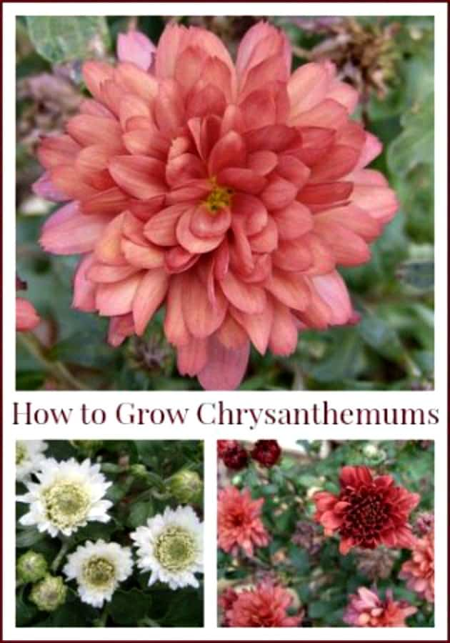 How to Grow Chrysanthemums as perennials. Gardening tips and tricks for growing mums in your flower garden.