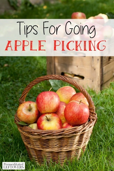 Use these tips for Going Apple Picking if you are going this year! Tips for preparing for your trip, finding good apples, & preventing them from going bad.