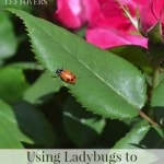 Using Ladybugs to Naturally Eliminate Aphids - A pesticide-free approach to dealing with pests in the garden