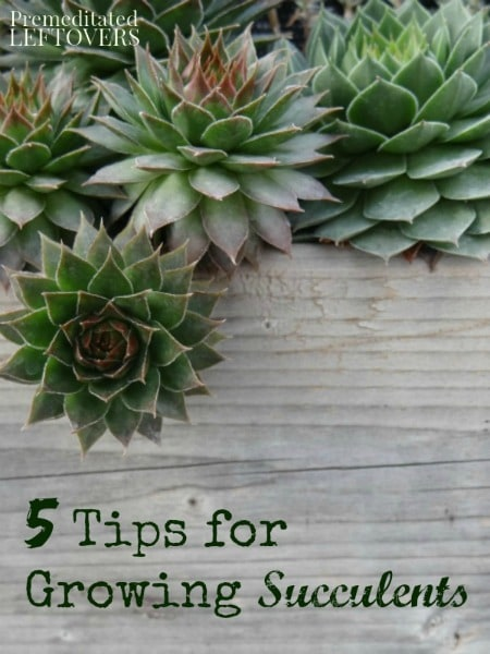 5 tips for growing succulents Can succulents grow outside