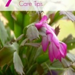 Christmas Cactus Care Tips- Growing a Christmas Cactus can be easy and rewarding. These tips will ensure a healthy cactus that will bloom year after year.