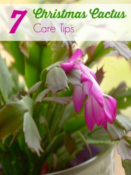7 christmas cactus care tips. Black Bedroom Furniture Sets. Home Design Ideas