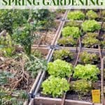Spring vegetables growing in raised garden beds