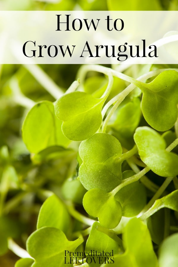 How to Grow Arugula  including how to grow arugula from seed, how to transplant arugula seedlings, when and how to harvest arugula plants.