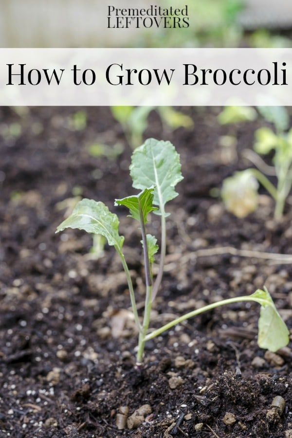 How to Grow Broccoli including how to grow broccoli from seed, how to transplant broccoli sprouts & when to harvest broccoli plants.