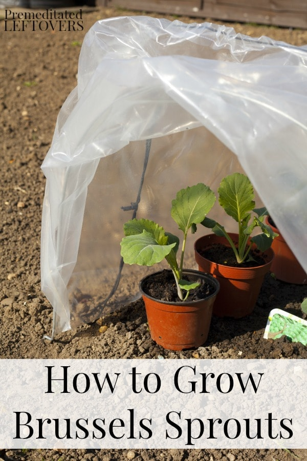 How to Grow Brussels Sprouts including how to grow Brussels sprouts, how to transplant Brussels sprouts & when to harvest Brussels sprouts plants.