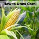 How to Grow Corn
