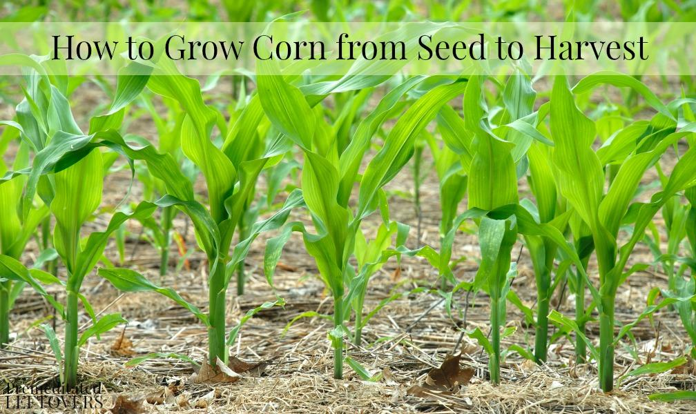 How to Grow Corn from Seed to Harvest