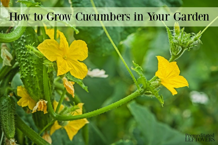 How to Grow Cucumbers in Your Garden