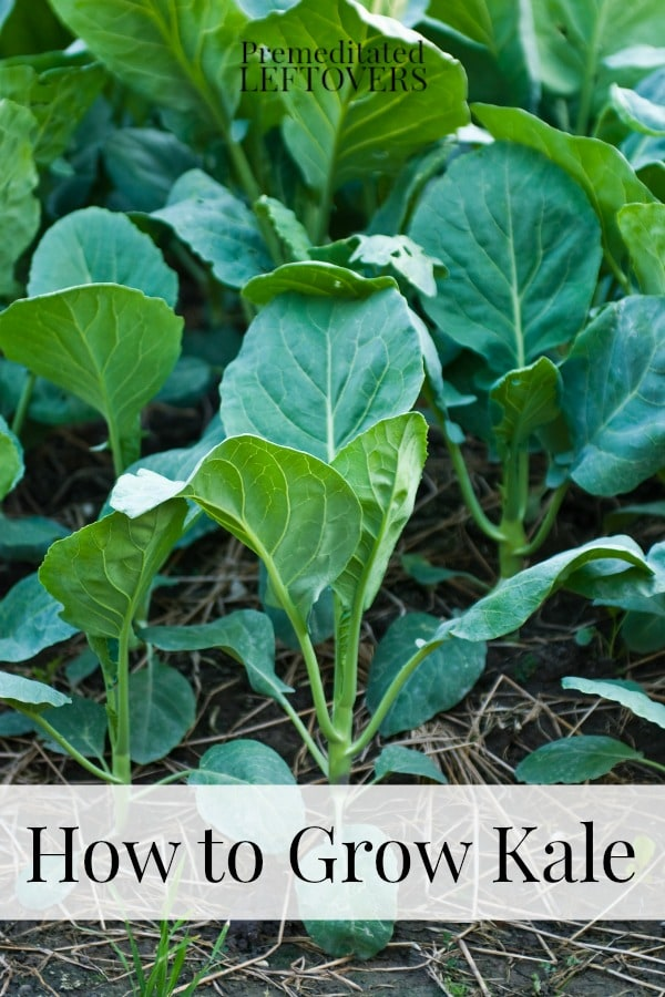 How to Grow Kale including how to grow kale from seed, when to plant kale, how to transplant kale, & when and how to harvest kale plants