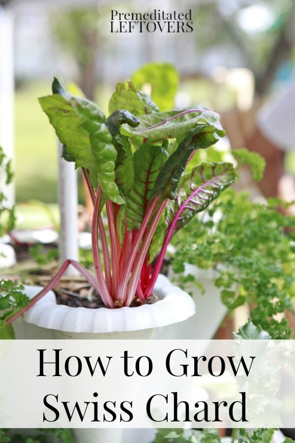 How to grow Swiss Chard from seed, how to transplant Swiss chard sprouts & when to harvest Swiss chard plants.