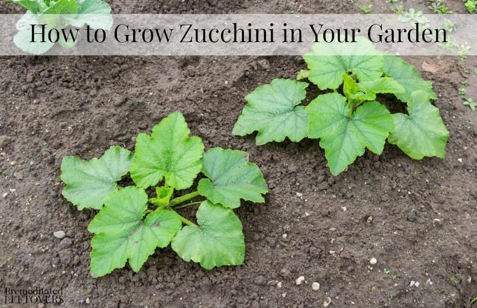 How to Grow Zucchini in Your Garden
