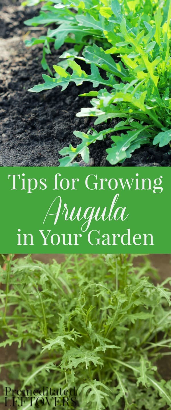 Tips For Growing Arugula In Your Garden