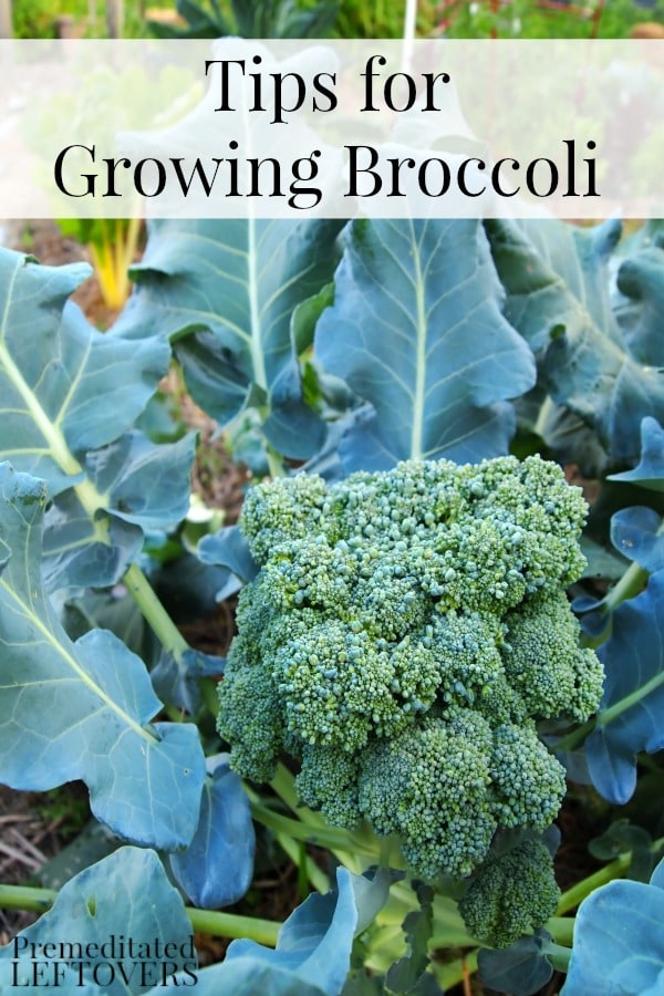 Here are some tips for Growing Broccoli in Your Garden including how to grow broccoli from seed, how to transplant broccoli sprouts & when to harvest broccoli plants.
