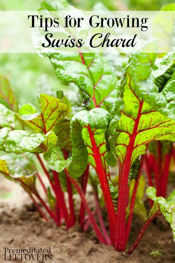Tips for growing Swiss chard, including how to grow Swiss chard from seed, how to transplant Swiss chard sprouts & when to harvest Swiss chard plants.
