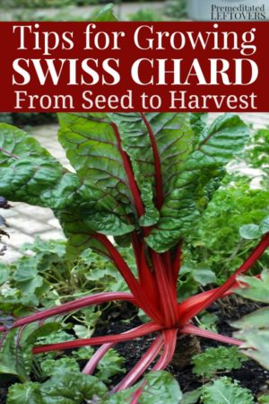 gardening tips for growing Swiss chard