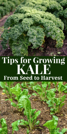 how to grow kale in your garden