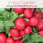 How to Grow Radishes in Your Garden