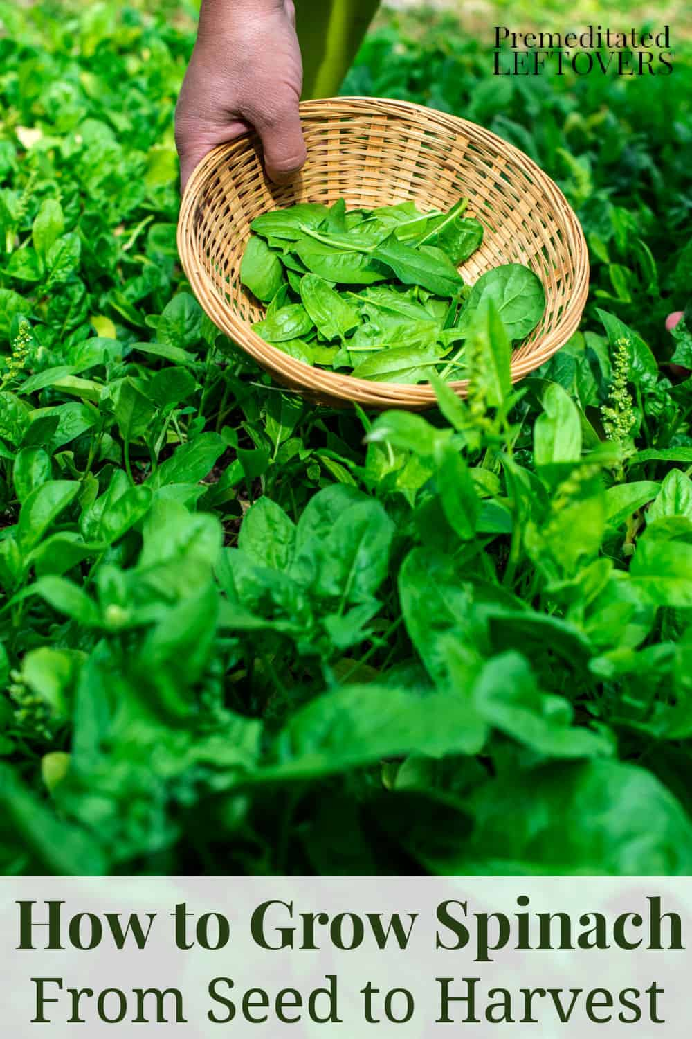 how to grow spinach from seed to harvest