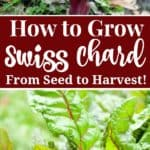 how to grow swiss chard from seed to harvest in your vegetable garden